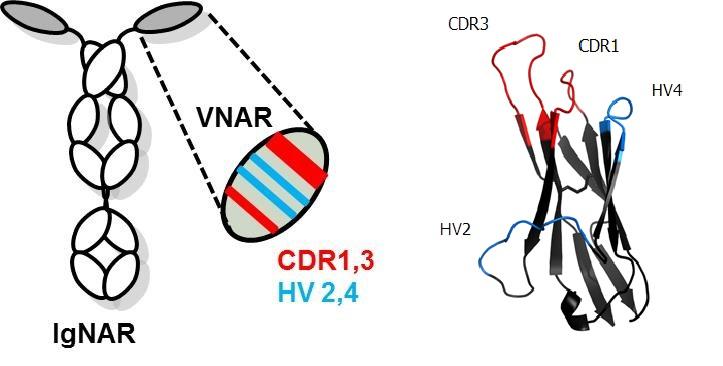 Protein-Drug Conjugates